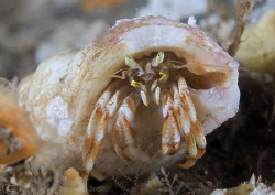 Hermit crab. Menai straits. D200, 2xT/C, 60mm, wet diopter. by Derek Haslam 